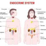 The Anatomy Of Endocrine System Mystery
