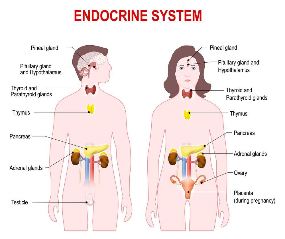 The Anatomy Of Endocrine System Mystery - StyleBuzzer
