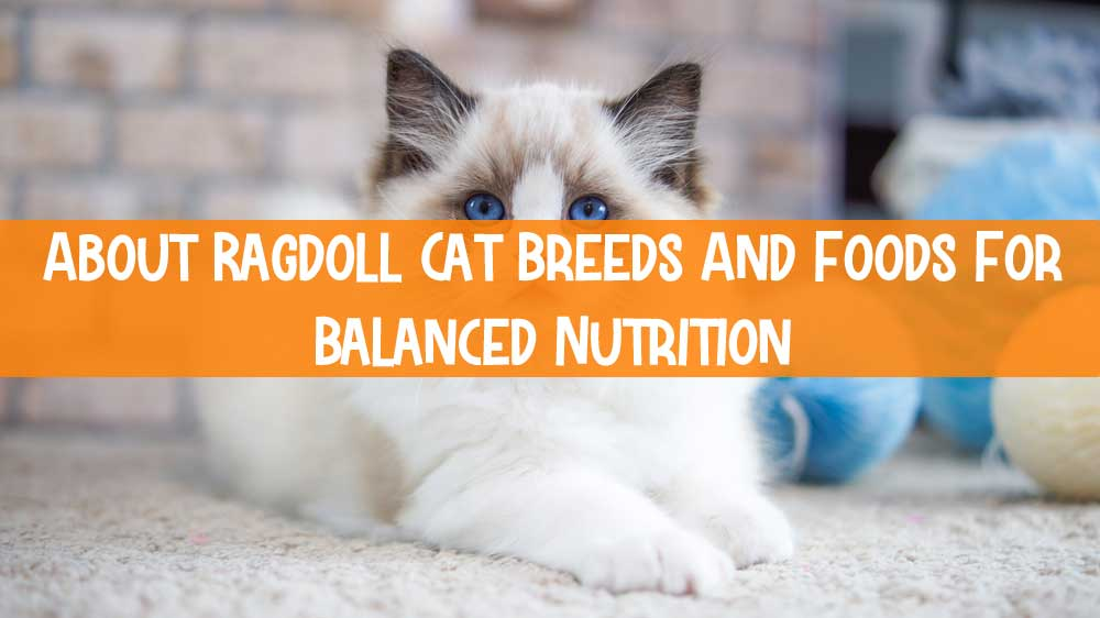 About Ragdoll Cat Breeds And Foods For Balanced Nutrition